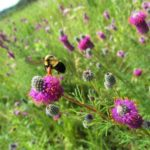 Bumble Bee Watch - conserving North America's iconic pollinators