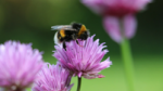Take part in the Great Canadian Bumble Bee Count