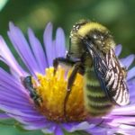 Gardening for Bees (and other pollinators)