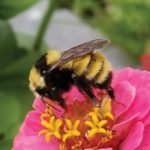 The Great Canadian Bumble Bee Count