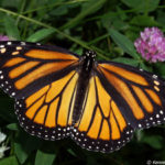 Roadside Monarch Butterfly Project in Eastern Ontario