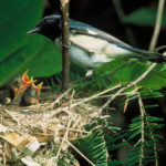 Project NestWatch - a nest monitoring program for citizen scientists