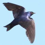 Purple Martin Birdhouse - Champlain Park Community