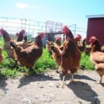 Hens set to flock to school in Casselman