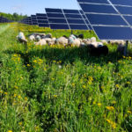 Solar Grazing - Vegetation Abatement Project