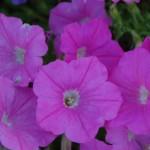 Gananoque Horticultural Society Garden Tour