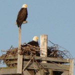 Species at Risk - Bald Eagles