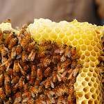 Fairmont's Bee Sustainable Program in partnership with Wild for Bees