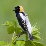 Ontario Nature - Endangered Species - Bobolink and Eastern Meadowlark
