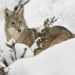 Living with Wildlife - Coyotes