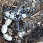 Gray Rat Snake Nesting Boxes - Species at Risk