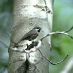 Conserving the Boreal Forest for our songbirds